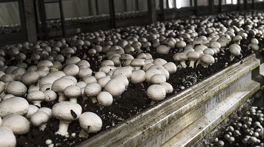 Ферма шампиньонов